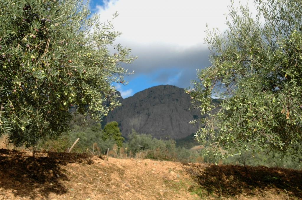 Olivos en Berzocana con la sierra al fondo