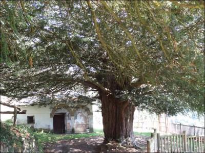 Tejo de Santa Coloma