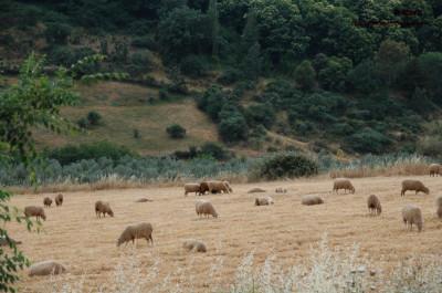 Ovejas en las cercanías de Berzocana