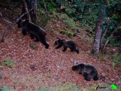 osos en Cangas