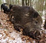caza-mayor-jabali-rumania