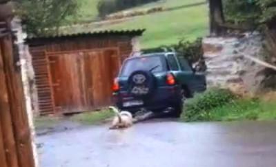 perro copia