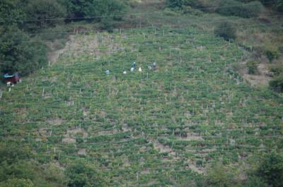 Una viña en Cangas