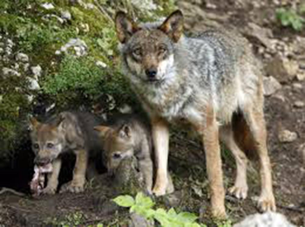 """CANGAS DEL NARCEA.- El PP pide un aumento de las batidas de lobos para evitar que """"niños y mayores no puedan pasear por los pueblos"""""""