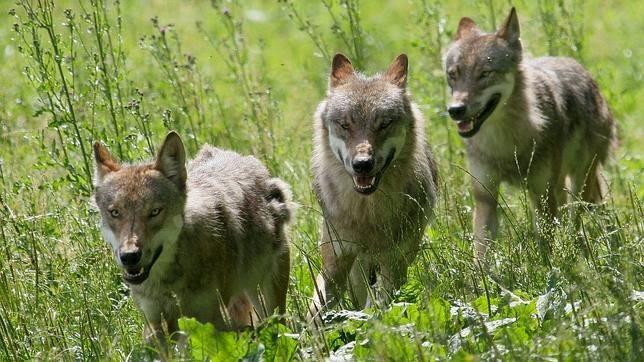 CANGAS DEL NARCEA.- El Ayuntamiento lamenta que el PP se niegue a negociar la moción sobre control de fauna salvaje.