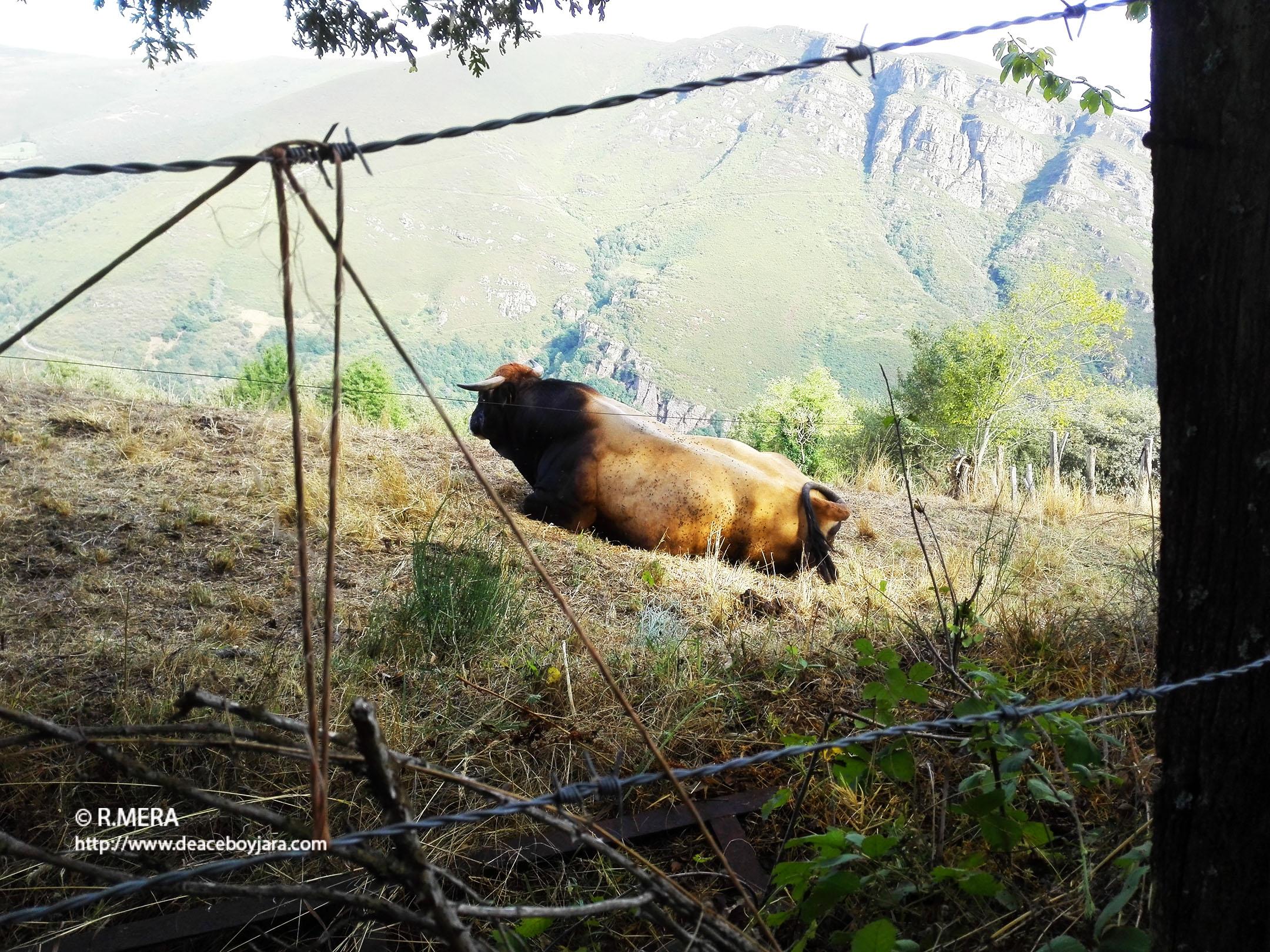 La foto y su pie: Soledad bovina