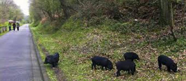 CANGAS DEL NARCEA.- Animales en la carretera. La culpa fue de chaca-cha