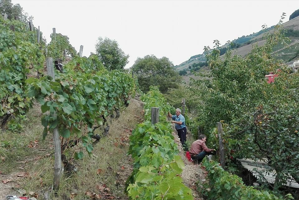 CANGAS DEL NARCEA.- La superficie de viñedos aumentará notablemente