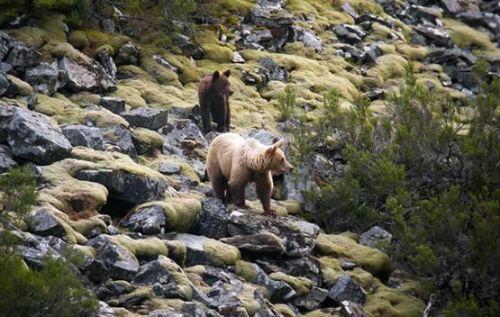 CANGAS DEL NARCEA.- Presencia de 40 osas y 64 crías en la Cordillera Cantábrica