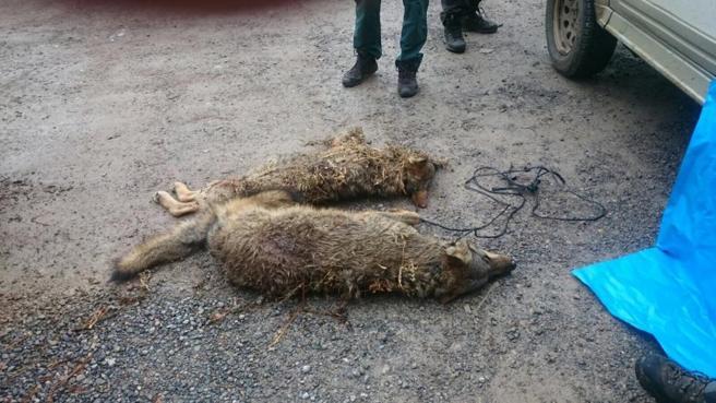 SUROCCIDENTE.- COAG perseguirá legalmente a quienes acusan sin pruebas a los ganaderos de matar lobos