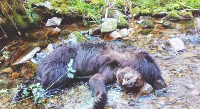 CANGAS DEL NARCEA.- Una pelea probable causa de la muerte de los osos en Combo