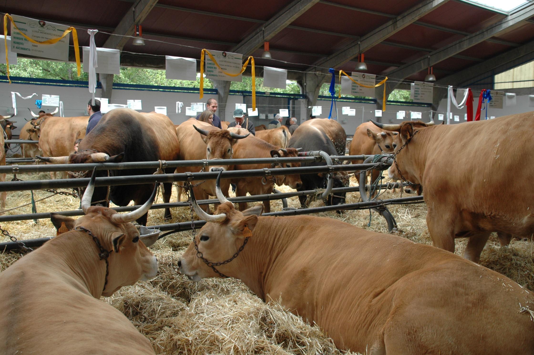 CANGAS DEL NARCEA.- La Asturiana de los Valles alcanza las 100.000 vacas en la región