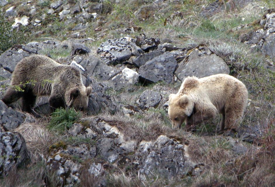 CANGAS DEL NARCEA.- Los ganaderos aseguran que el oso no está en extinción