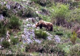CANGAS DEL NARCEA.- Osos sí, osos no; el dilema ciudad/campo; ecologistas/ganaderos