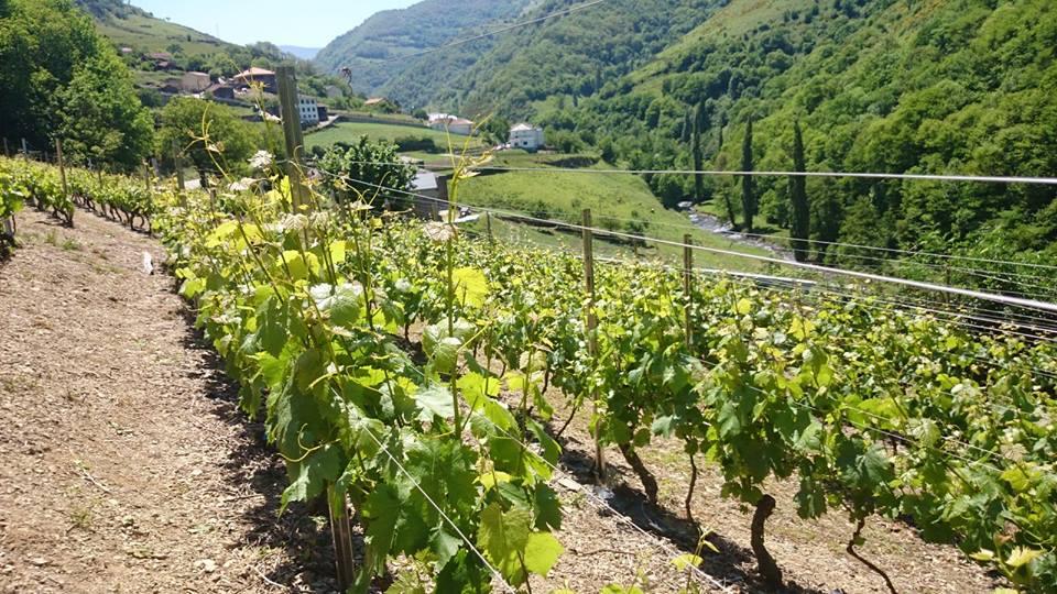 CANGAS DEL NARCEA.- Nuevas tecnologías en las viñas