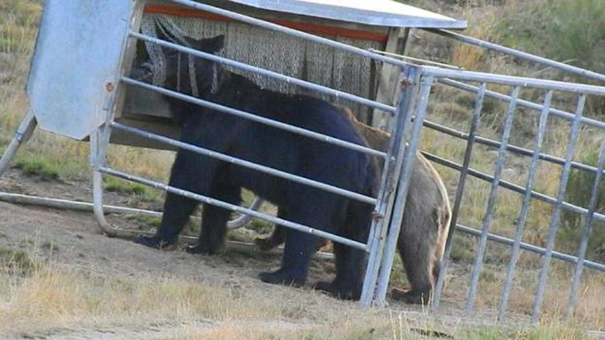 CANGAS DEL NARCEA.- Los osos acuden al pienso de Avelino Álvarez