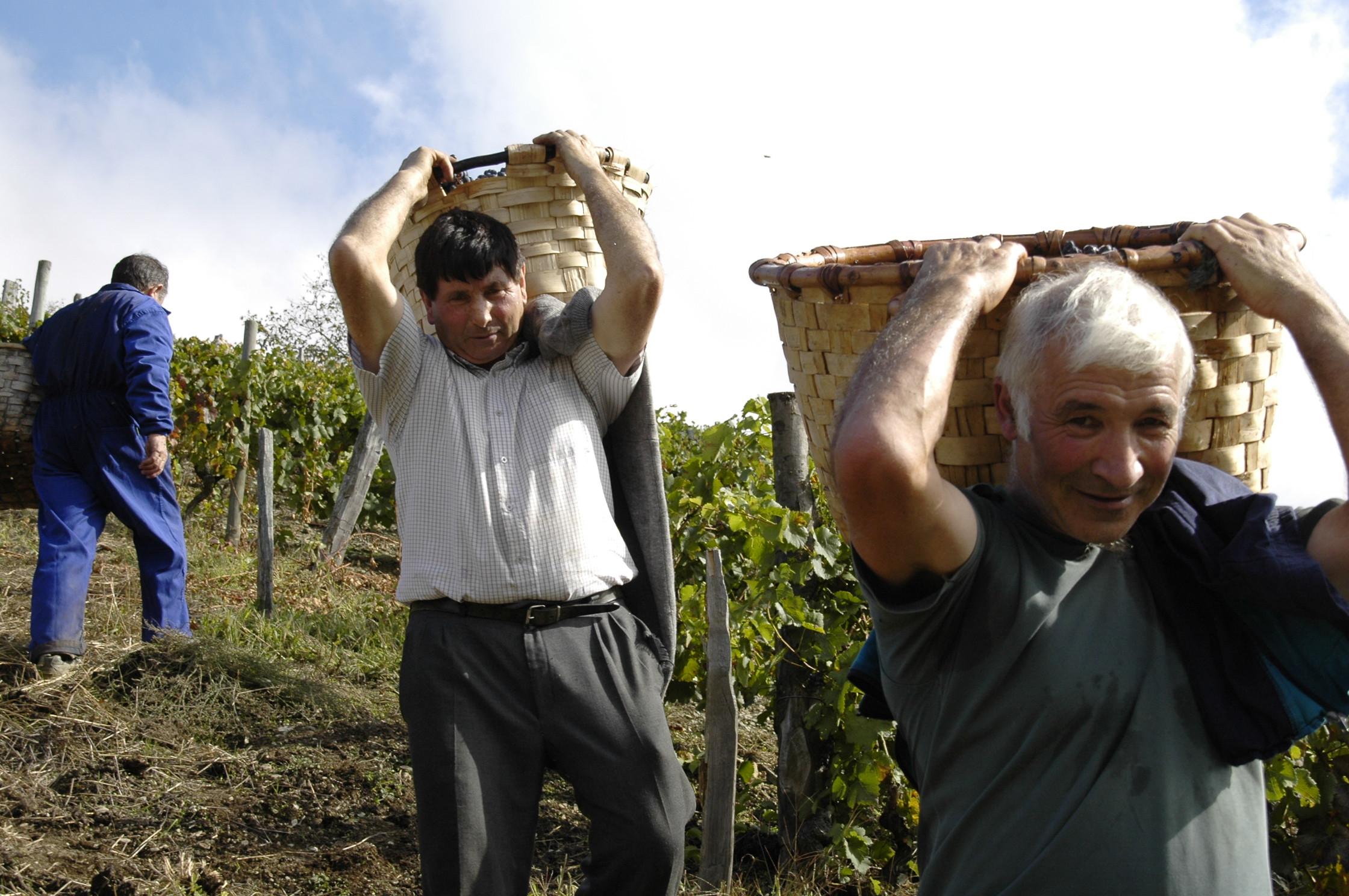 CANGAS DEL NARCEA.-La DOP vendimia casi 100.000 kilos de uva