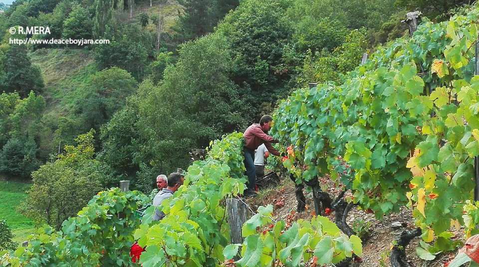 CANGAS DEL NARCEA.- El Suroccidente tendrá un ciclo sobre vitivinicultura