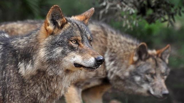 Al lobo, ni tocarlo ni gritarlo