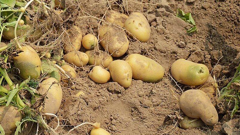 Acercamiento a la patata. ¿Cómo se apañaron casi 8.000 años sin ellas?