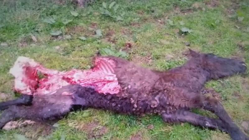 Más ataques del lobo. Ahora en Tineo