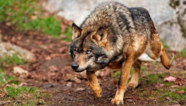 """""""El Principado recurrirá la ampliación de la protección del lobo"""""""