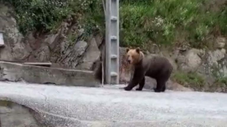 El oso ataca en Caldevilla y Posada de Rengos