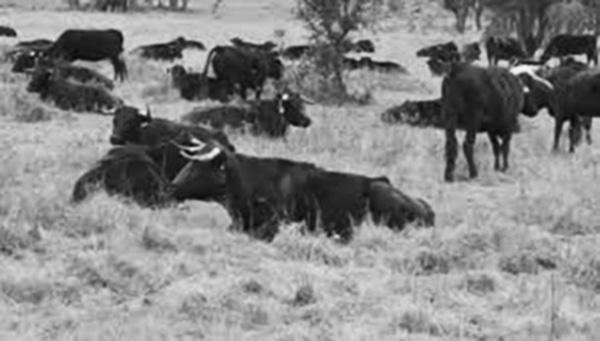 Las vacas de La Nava, la capea y Barrizales