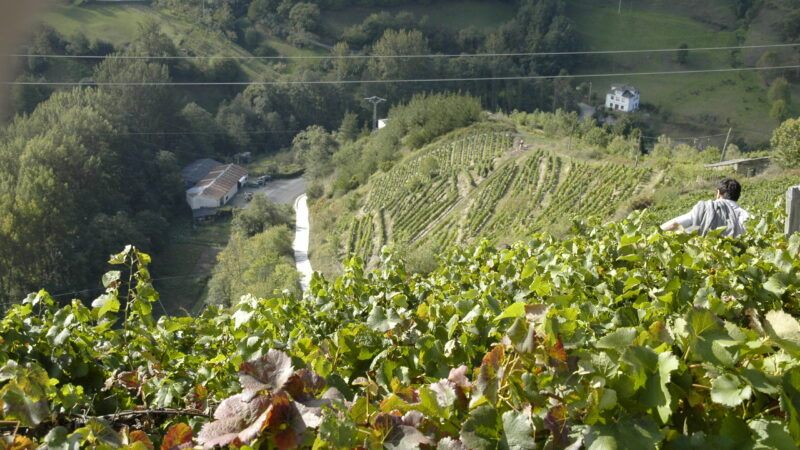 Vendimia: Se esperan 120.000 kilos de uva de las diversas variedades