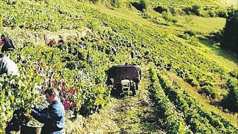 Una nueva bodega tramita su incorporación al sello de calidad Vino de Cangas