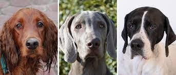 Perros de muestra en Allande este fin de semana
